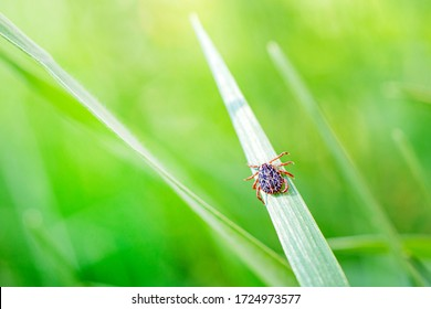 Encephalitis Infected Tick Insect on Green Grass in the sunshine of summer. Lyme Borreliosis Disease or Encephalitis Virus Infectious Dermacentor Tick Arachnid Parasite Macro