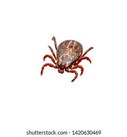 Encephalitis Insect Tick Isolated on White. Encephalitis Virus or Lyme Borreliosis Disease Infectious Dermacentor Tick Arachnid Parasite Macro.