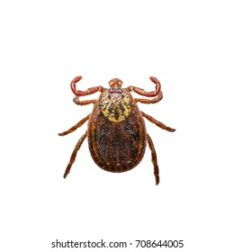 Encephalitis or Lyme Virus Infected Tick Insect Isolated on White
