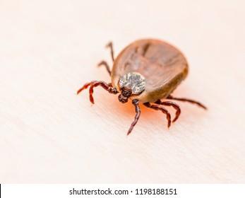Encephalitis Virus or Lyme Disease Infected Dermacentor Tick Arachnid Insect on Skin Macro