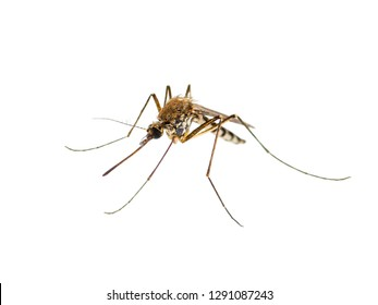 Encephalitis, Yellow Fever, Malaria Disease or Zika Virus Infected Culex Mosquito Parasite Insect Macro Isolated on White Background