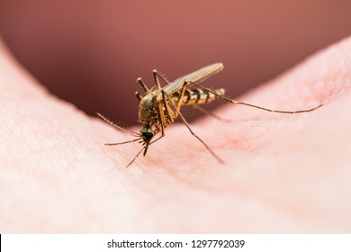 Encephalitis, Yellow Fever, Malaria Disease or Zika Virus Infected Culex Mosquito Parasite Insect on Skin Macro