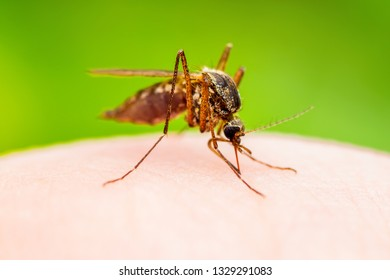 Encephalitis, Yellow Fever, Malaria Disease or Zika Virus Infected Culex Mosquito Parasite Insect Macro on Green Background