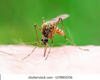 Encephalitis, Yellow Fever, Malaria Disease, Mayaro or Zika Virus Infected Culex Mosquito Parasite Insect Macro on Green Background