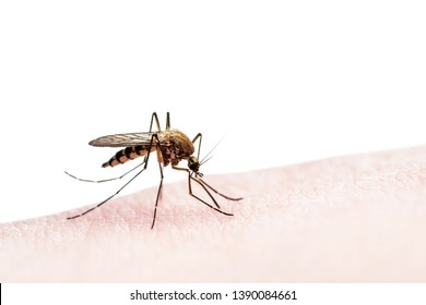 Encephalitis, Yellow Fever, Mayaro, Malaria Disease or Zika Virus Infected Culex Mosquito Parasite Insect Isolated on White Background