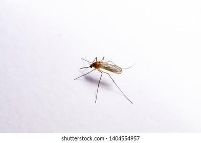 Encephalitis, Yellow Fever, Mayaro, Malaria Disease or Zika Virus Infected Culex Mosquito Parasite Insect on White Wall Background