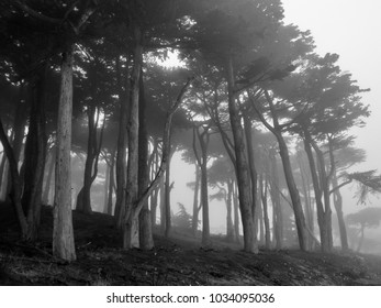 Enchanted foggy forest with spooky trees black and white