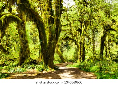 Enchanting Hall of Mosses in Hoh Rain Forest, Olympic National Park, Washington, USA