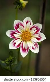 enchanting, the magical flower of a dahlia