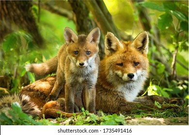 Enchanting red fox, vulpes vulpes, family resting in green summer forest near den. Little cub standing close to its lying mother between trees at sunrise. Concept of animal proximity.