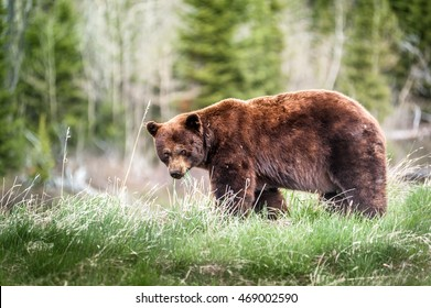 encounter with a grizzly bear (Ursus arctos horribilis) on a trail in Waterton National Park, Alberta, Canada - photo series 3 of 4