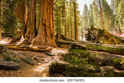 An encounter with a trio of Giant Sequoias (Redwoods) in the Giant Forest Grove in the Sequoia National Park, California (USA)
