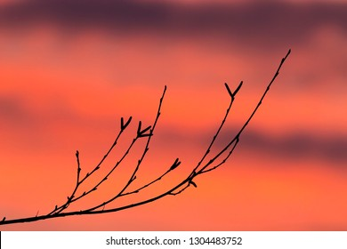 The end of a budding birch branch is silhouetted against an intensely colorful sunset sky.