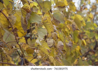 At the end of the season & after grape picking the vine leaves begin to yellow. Grape plant with yellow leaves