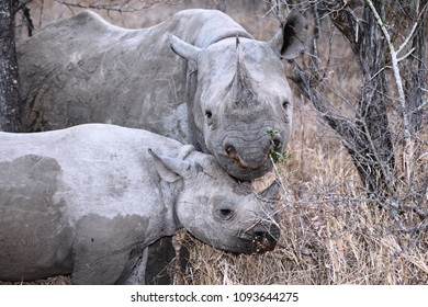 endagered black rhinoceros with calf