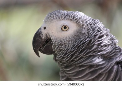 Endangered African Grey Parrot Portrait