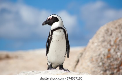 Endangered African Penguin, also known as the Jackass penguin on the rocks at Boulders Beach Penguin sanctuary in the Simon's Town suburb of Cape Town, South Africa