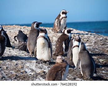Endangered African Penguins at Boulder's Beach near Cape Town, South Africa