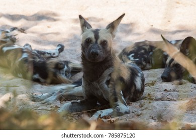 Endangered African wild dogs in Zambia's South Luangwa Valley.