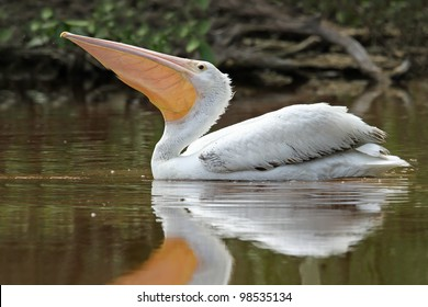 Endangered American White Pelican (Pelecanus erythrorhynchos) Swimming in a Pond with the Pouch of its Beak Extended - Everglades National Park