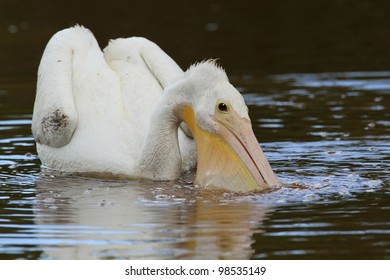 Endangered American White Pelican (Pelecanus erythrorhynchos) Filling its Pouch with Water While Feeding - Everglades National Park