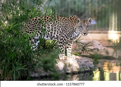 Endangered arabian leopard was staring back while standing next to the water.
