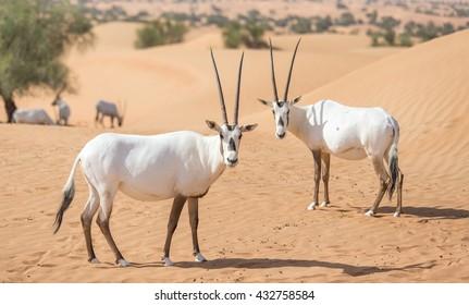 Endangered arabian oryxes (Oryx leucoryx) in Dubai Desert Conservation Reserve, United Arab Emirates.