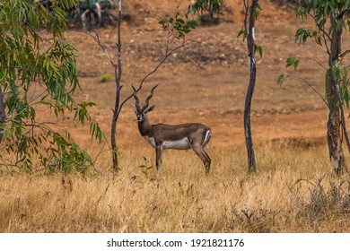The endangered black buck in the protected nature reserve