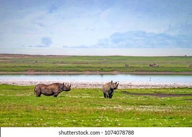 Endangered black rhino