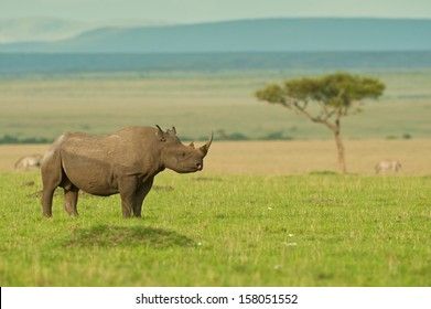 Endangered Black Rhino on East African Savannah plains with Acacia tree