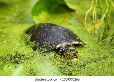 Endangered Blandings Turtle (Emydoidea blandingii) surveys the marsh in northern Illinois