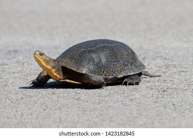Endangered Blandings Turtle in Northern Michigan