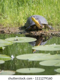 An endangered Blanding's Turtle sunning itself in Toronto's once heavily polluted Don River Valley.