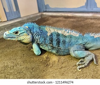 The endangered blue iguana (Cyclura lewisi), also known as the Grand Cayman iguana, Grand Cayman blue iguana or Cayman Island blue iguana