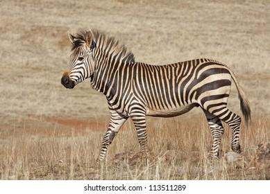 Endangered Cape Mountain Zebra; Equus zebra