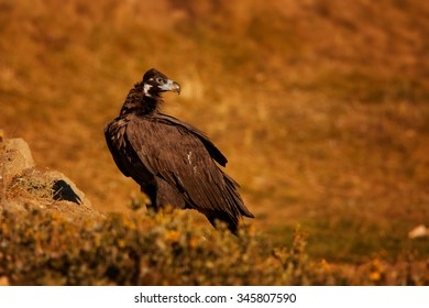 Endangered Cinereous vulture Aegypius monachus sitting on dry meadow lit by setting sun, autumn bushes in background.
