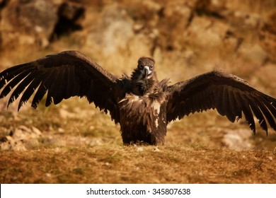 Endangered Cinereous vulture Aegypius monachus with outstreched wings on rock lit by setting sun