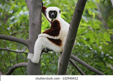Endangered Coquerel's Sifaka (Propithecus coquereli) rests and looks in a tree in a rain forest in Madagascar (Ankarafantsika). This is a large diurnal lemur that clings vertically to trees and leaps.
