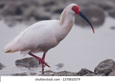 Endangered Crested Ibis (Nipponia nippon) at the Han River, Yangxian, Shaanxi Province, China.