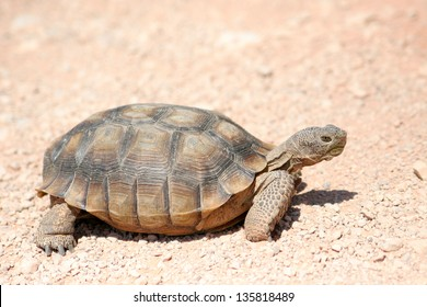 endangered desert turtle wild animal
