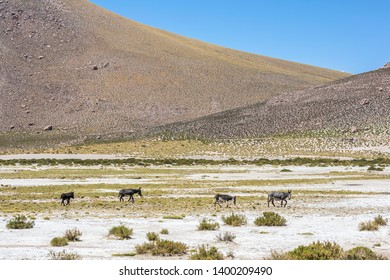 Endangered donkeys walking Andes mountains Altiplano meadows. A group of donkeys crossing the Andes valleys. A wild landscape inside an amazing scenery on a sunny day