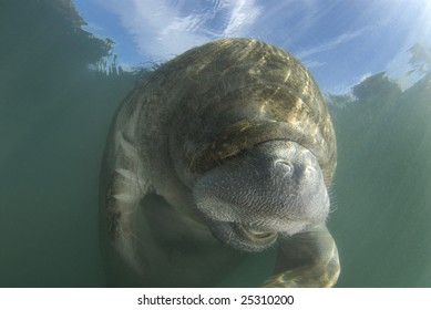 An endangered Florida Manatee (Trichechus manatus latirostrus) seems to laugh in the springs of Crystal River, Florida with the blue skies showing through the surface.