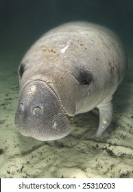 An endangered Florida manatee (Trichechus manatus latirostrus) rests underwater in the springs of Crystal River, Florida