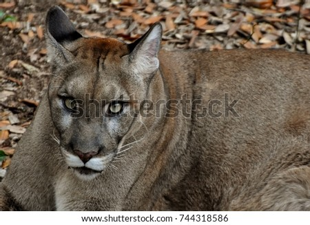 8ef27cd3223 An endangered Florida Panther (Puma concolor coryi or Puma concolor  couguar) in a Florida