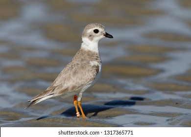 Endangered Great Lakes Piping Plover (Charadrius melodus) foraging in winter on a barrier island beach - Jekyll Island, Georgia
