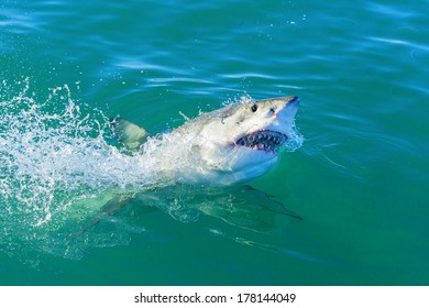 Endangered great white Shark