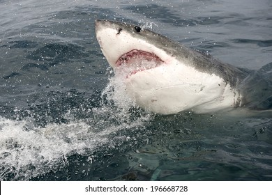 Endangered great white Shark being chummed for cage diving with a yellow tail fish head