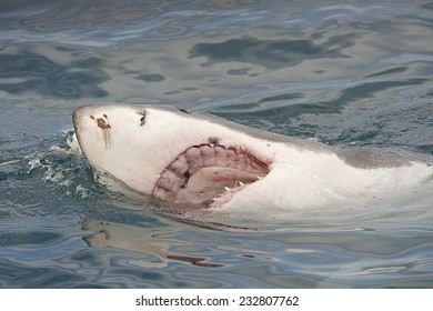 Endangered great white Shark breaching the surface of the ocean showing an open mouth and jaws