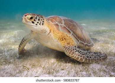 An endangered Green Sea Turtle is seen in the Caribbean Sea off the coast of Mexico