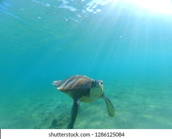 Endangered green turtle from Mayotte (Chelonia mydas) looking at the camera
